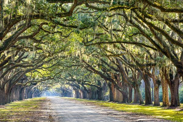 Tree canopy in Savannah, GA
