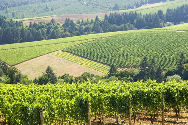 Yamhill County vineyards